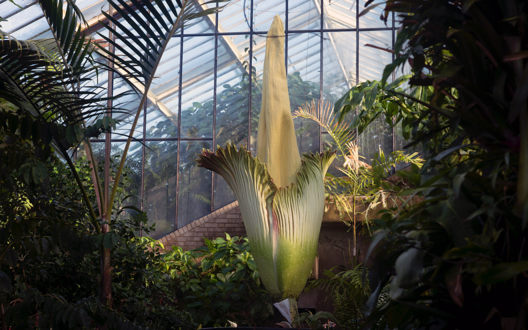 A huge 'corpse flower' stinking of rotting flesh has bloomed at Kew Gardens