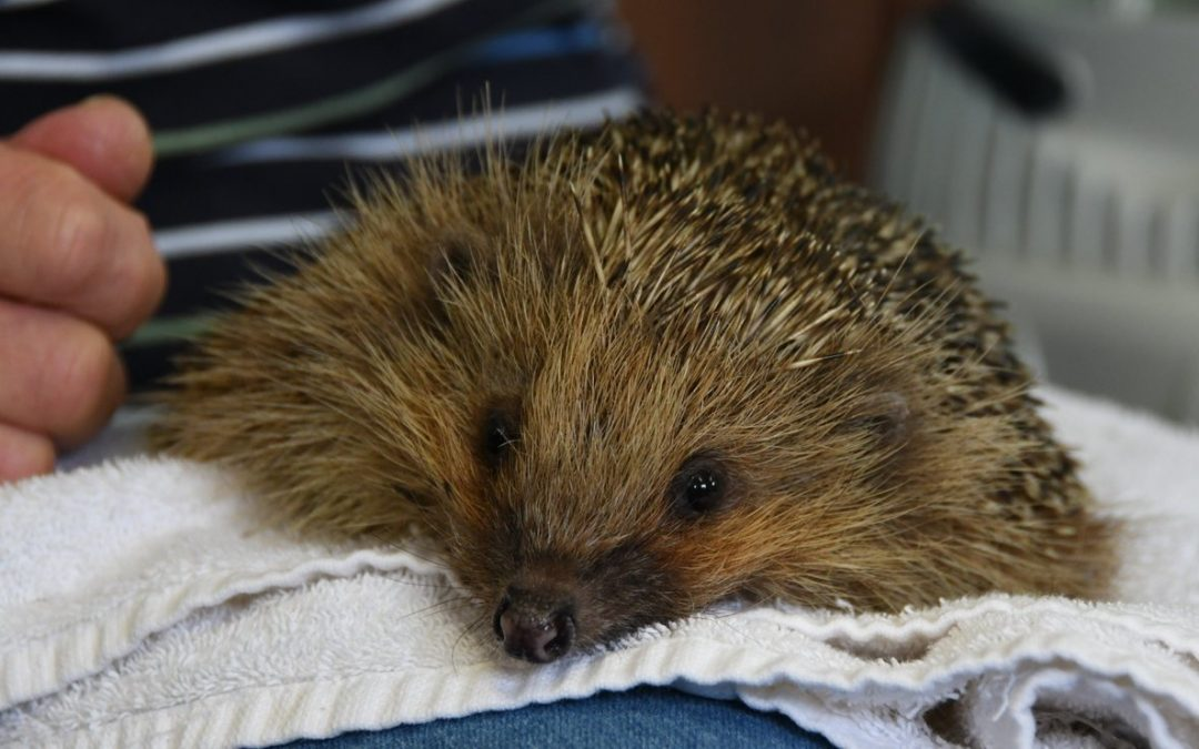 There's an all-day hedgehog festival coming to Hackney