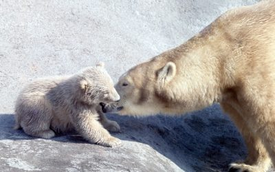 Most Googled: does London Zoo have polar bears?