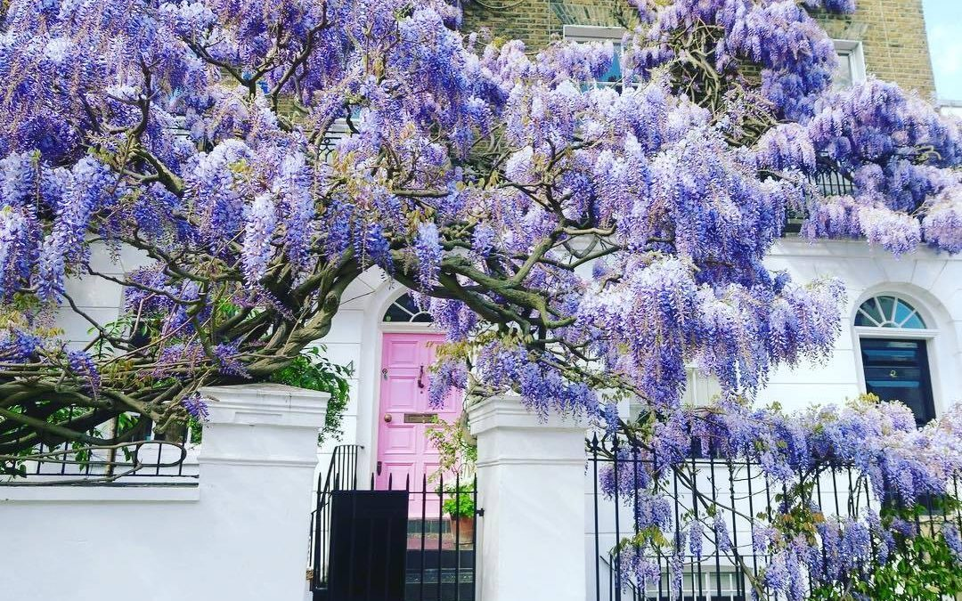 Wisteria hysteria is still rife in London. Take a look at these beauties