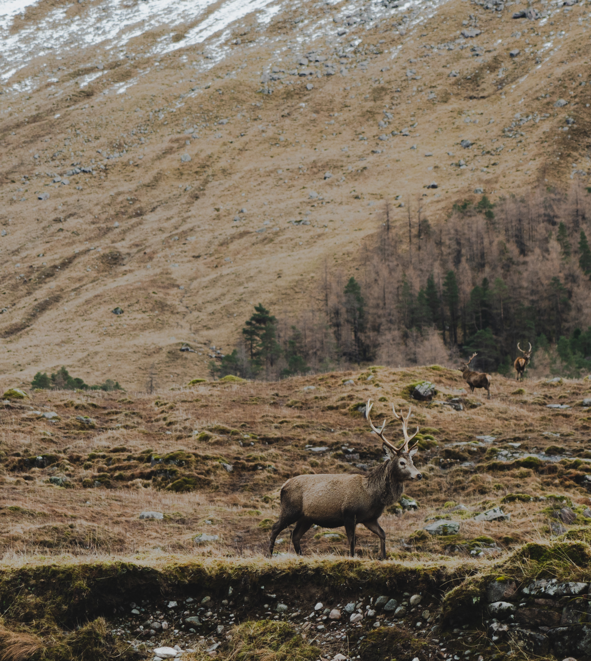 stag in the scottish highlands